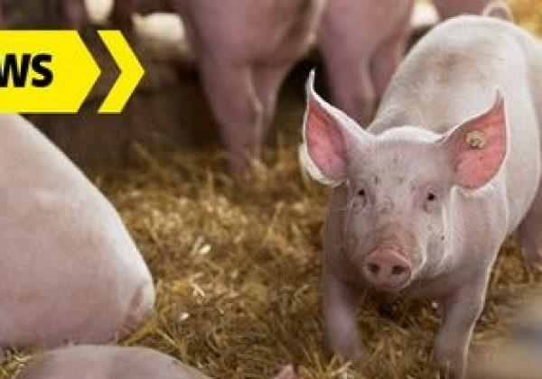 Urządzenia do dezynfekcji (ASF) z Wik-ker idealne do pomocy przy hodowli prosiąt i trzody chlewnej.